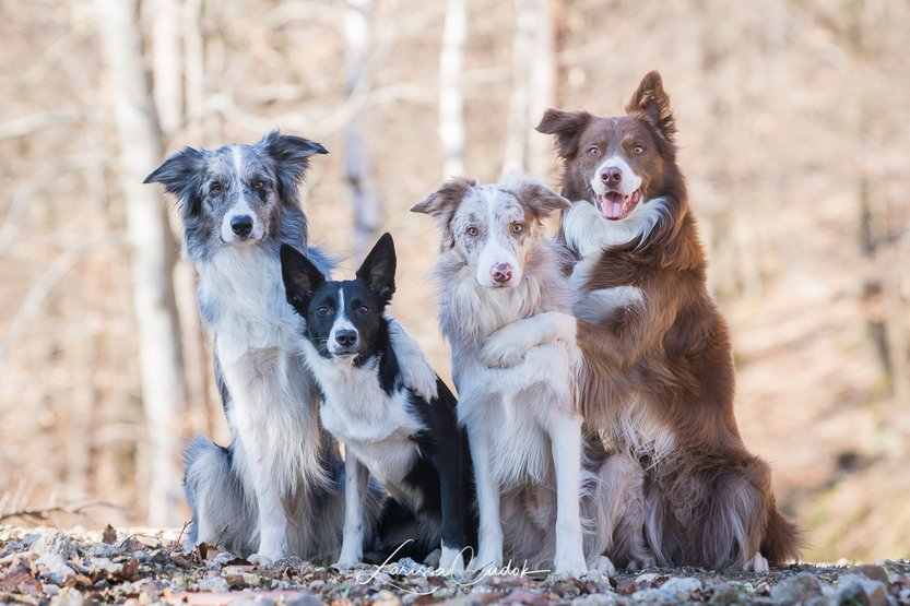 Border Collies, Herding Lunatic, Herding Lunatics, Herding Lunatic Border Collies, Larissa Cudok, Border Collie Zucht, Border Collie Zucht Deutschland, Border Collie Zucht Südwestdeutschland, Border Collie Zucht Baden-Württemberg, Border Collie Zucht Offenburg, ISDS, FCI Border Collies, CfBrH, Club für britische Hütehunde, Hüten, Working Border Collies, Nucha, Koda, Bumblebee, Maybe